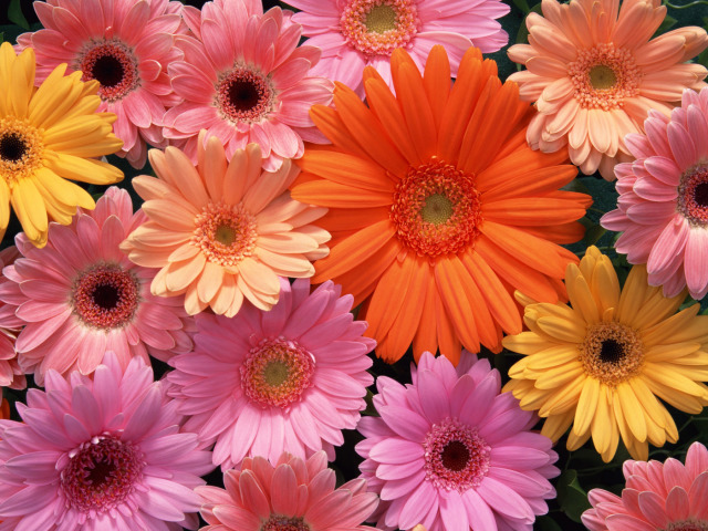 Colored Daisies Wallpaper