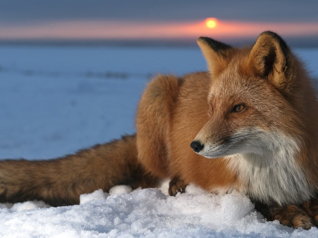 Red Fox Wallpaper